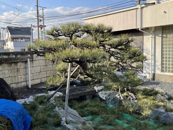 松の木剪定