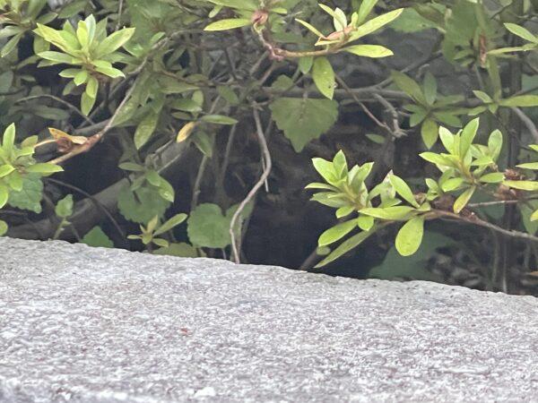 アシナガ蜂の巣